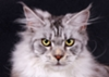 ALLEGIANCE LOVE Maine Coon cattery
